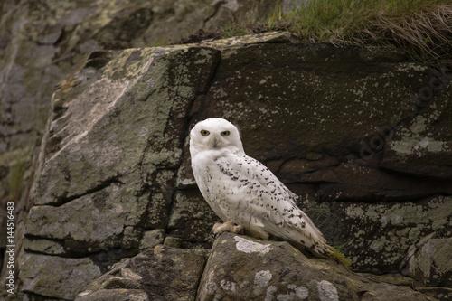 Poster Snowy owl