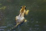 Royal Bengal Tiger, Panthera Tigris, bathing in water