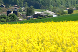 Frühling und Baumblüte im Odenwald Rapsblüte