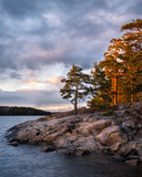 Evening light on pine trees in Stockholm archipelago nature landscape in Sweden