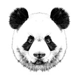 Fototapeta Panda head is symmetrical looks right, sketch vector graphics black and white drawing