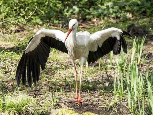 Poster White Stork