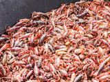 Live crawfish in a large tub being purged for cooking boiling eating