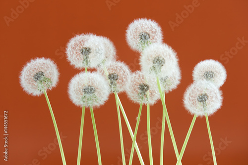 Fotobehang Rood traf. Dandelion flower on brown color background, group objects on blank space backdrop, nature and spring season concept.