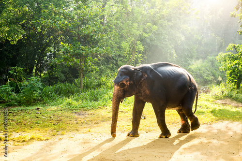 Poster Ceylon wild elephant in tropical jungle