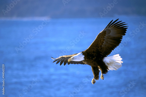 Bald Eagle flying low over ocean water, hunting for fish, Alaska