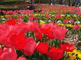 チューリップ満開の大宮花の丘農林公苑