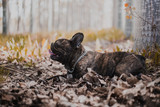 French Bulldog in the nature