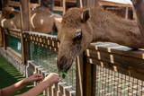 Feeding camel in farm