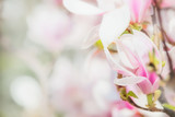 Delicate pink Magnolia flowers at blurred Blossom of Magnolia tree , springtime nature concept, floral border - 144592075