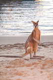Wallaby standing on a sandy beach