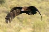 Black vulture. Aegypius monachus.