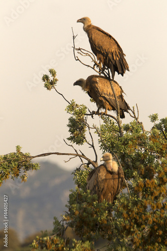 Griffons vultures. Gyps fulvus