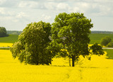 Latvia. Spring. Rape in blossoms. Flowering rapeseed field bounces all shades of yellow. Single chestnut and oak only amplify this game color and light.