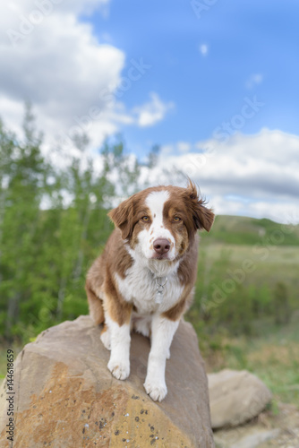 Aussie Dog Sitting on a Rock Looking Intently At Viewer