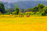 Paddy Rice Field in Northern Thailand