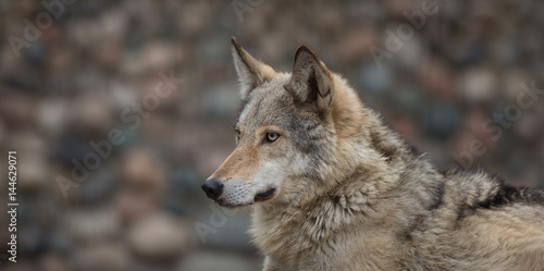 Portrait of a wolf close up Poster