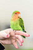 little green parrot standing on a woman's hand and cuddles