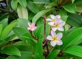 Plumeria flowers in the garden