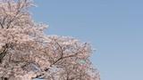 見上げる空、桜の木(奈良県吉野町) - 144682833