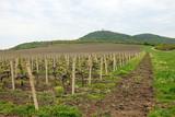 Vineyard under hill landscape spring season