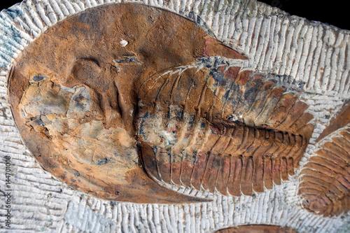 Poster Trilobyte fossils on sand stone background
