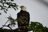 Weisskopfseeadler auf Baum