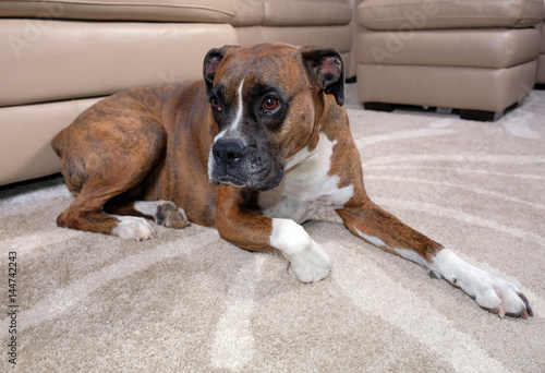 Brown boxer dog laying on carpet near sofa