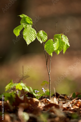 Baby beech tree in the forest