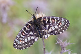Zerynthia rumina. Butterfly in their natural environment