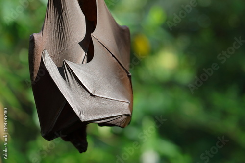 Flying Fox Hanging On Tree Branch