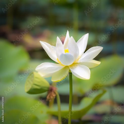Closeup lotus flower Poster