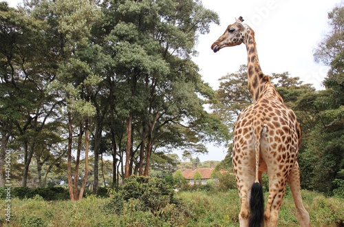 Poster View behind of Rothschild giraffe in Giraffe center, Nairobi, Kenya, East Africa