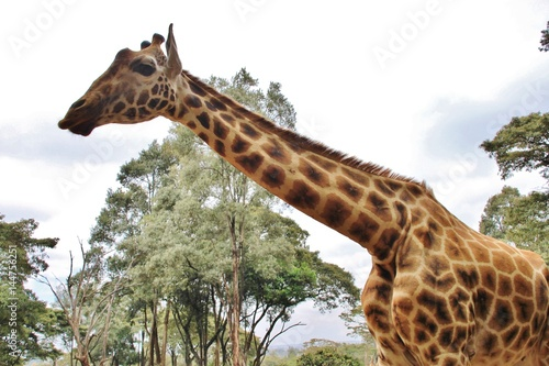 Closeup Rothschild giraffe in Giraffe center, Nairobi, Kenya, East Africa Poster
