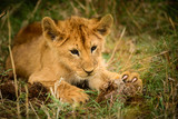 Wild lion cub shows claws