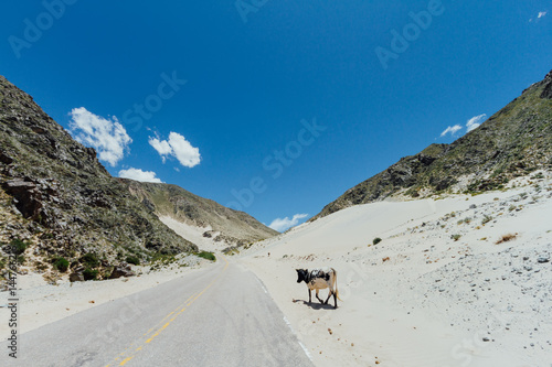 Cow walks along a sand dune between mountains on the side of a road in Catamarca Plakát