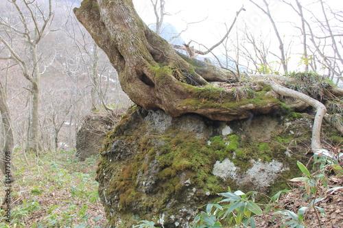 巨石の上にのしかかる大木(宮城県)