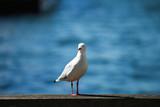 Petrel in Sydney harbour