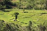 Tea plantation near Nuwara Eliya (sri Lanka)