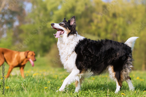 Poster portrait of a Border Collie outdoors