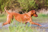 Rhodesian ridgeback running in a pond