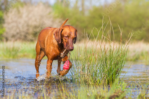 Rhodesian Ridgeback playing with a toy