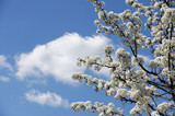 white cherry blossom in spring in sunny day