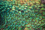 Colorful patterns and beauty of peacock feathers.