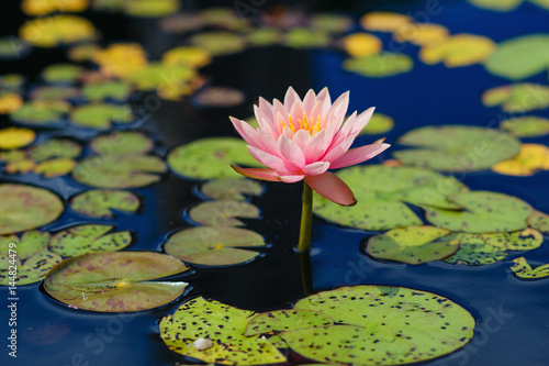 Beautiful water lily flower bloom Poster