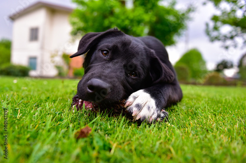 Poster Black Labrador puppy with white paws are gnawing a pine cone in a green meadow