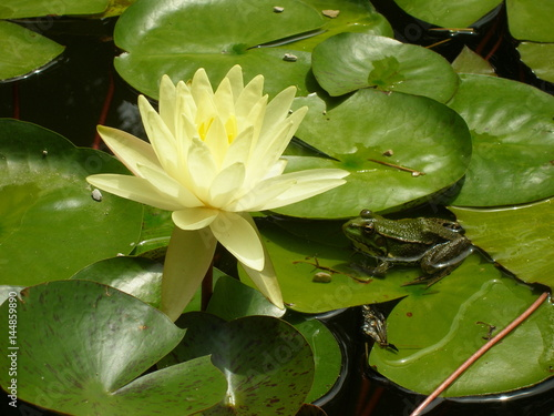 The yellow lotus, its leaves and the green fog sitting on the leaf in the water  Poster