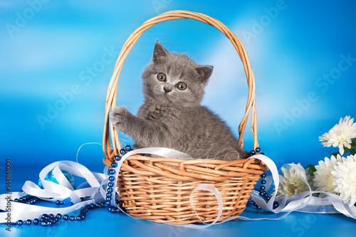 Poster British blue kitten, Scottish straight.