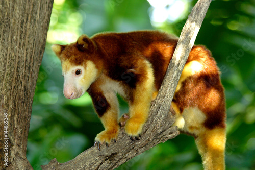 Fotobehang Kangoeroe Tree kangaroo sitting on a tree branch, Papua New Guinea