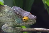 Chameleon with yellow lid